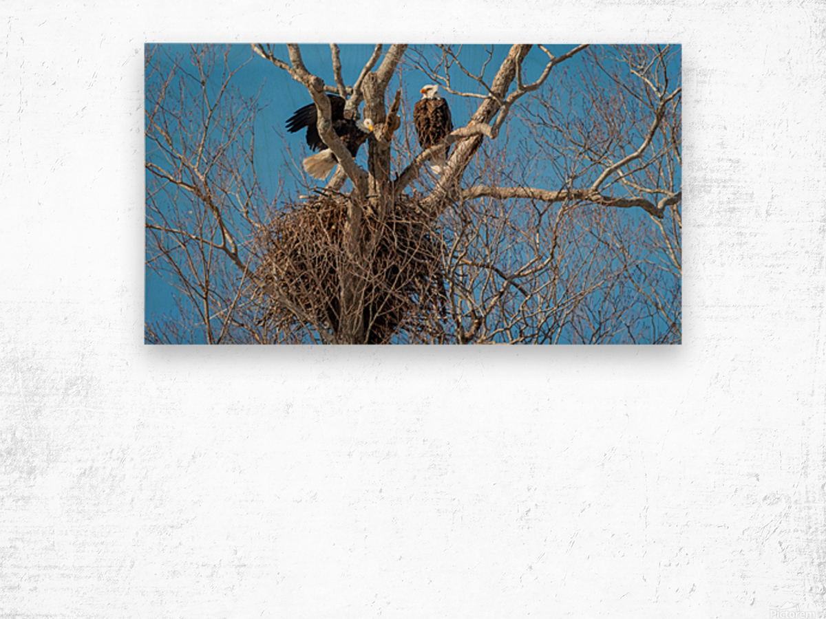 Bald Eagles cleaning up old nest. Wood print