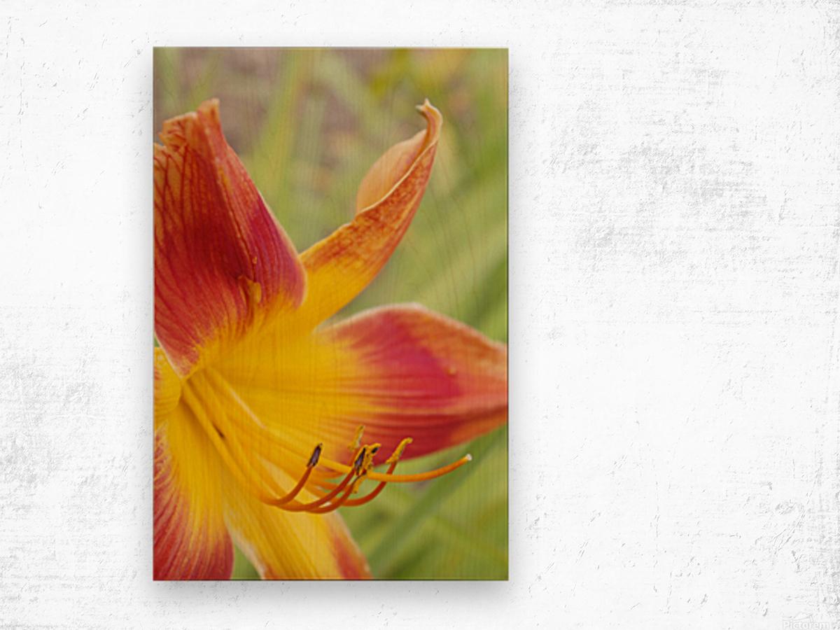 Peach Lilly Wood print
