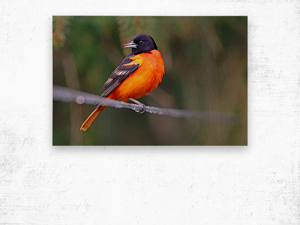 Baltimore Oriole On The Line Wood print