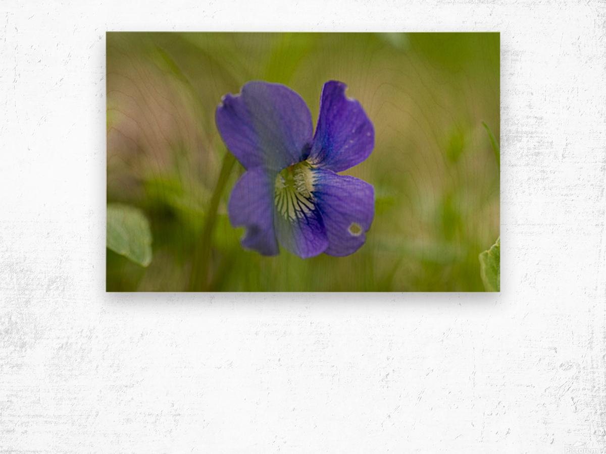 Wild Violet Wood print