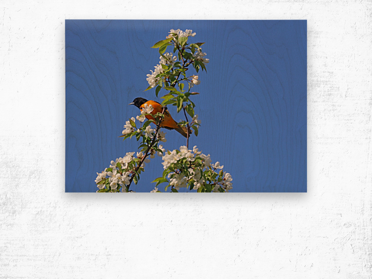 Oriole And White Blossoms Wood print