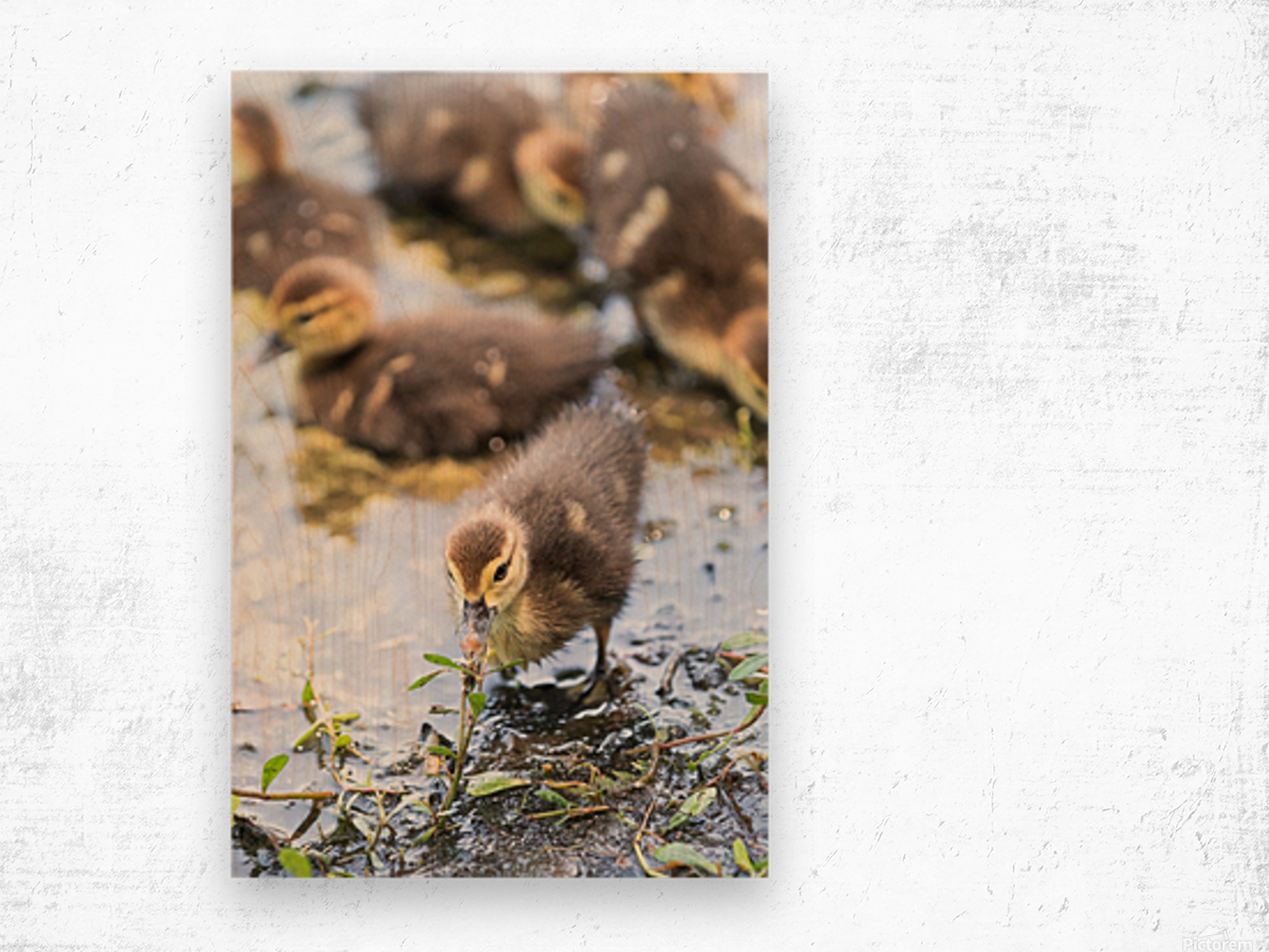 Baby - Baby Duck Wood print