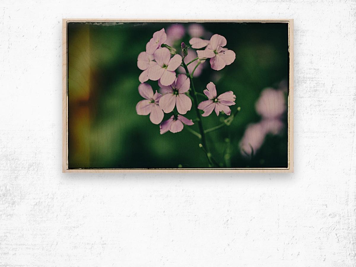 Phlox in Bloom Wood print