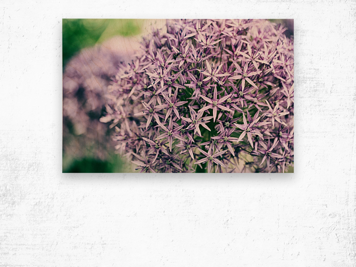 Allium in Bloom Wood print