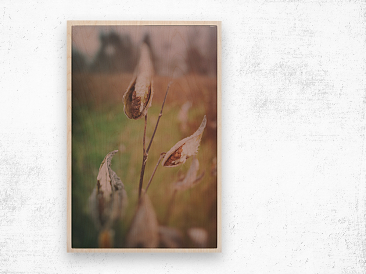 Milk Weed in the Fall Wood print