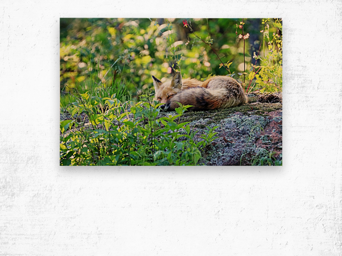 Nap Time For Red Fox I Wood print