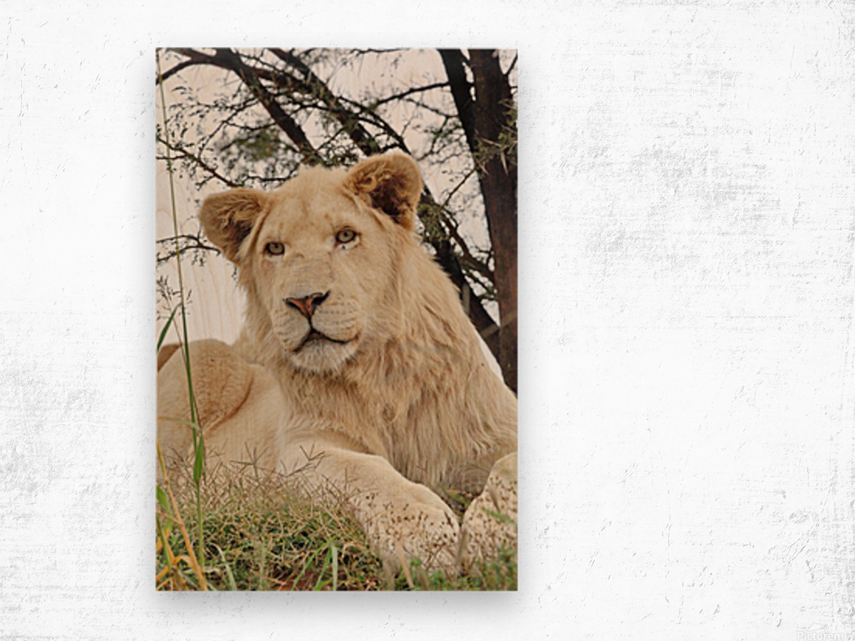 Young White Lion Male Wood print