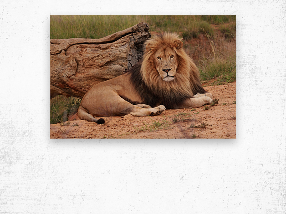 Brown Lion Male 9027 Wood print