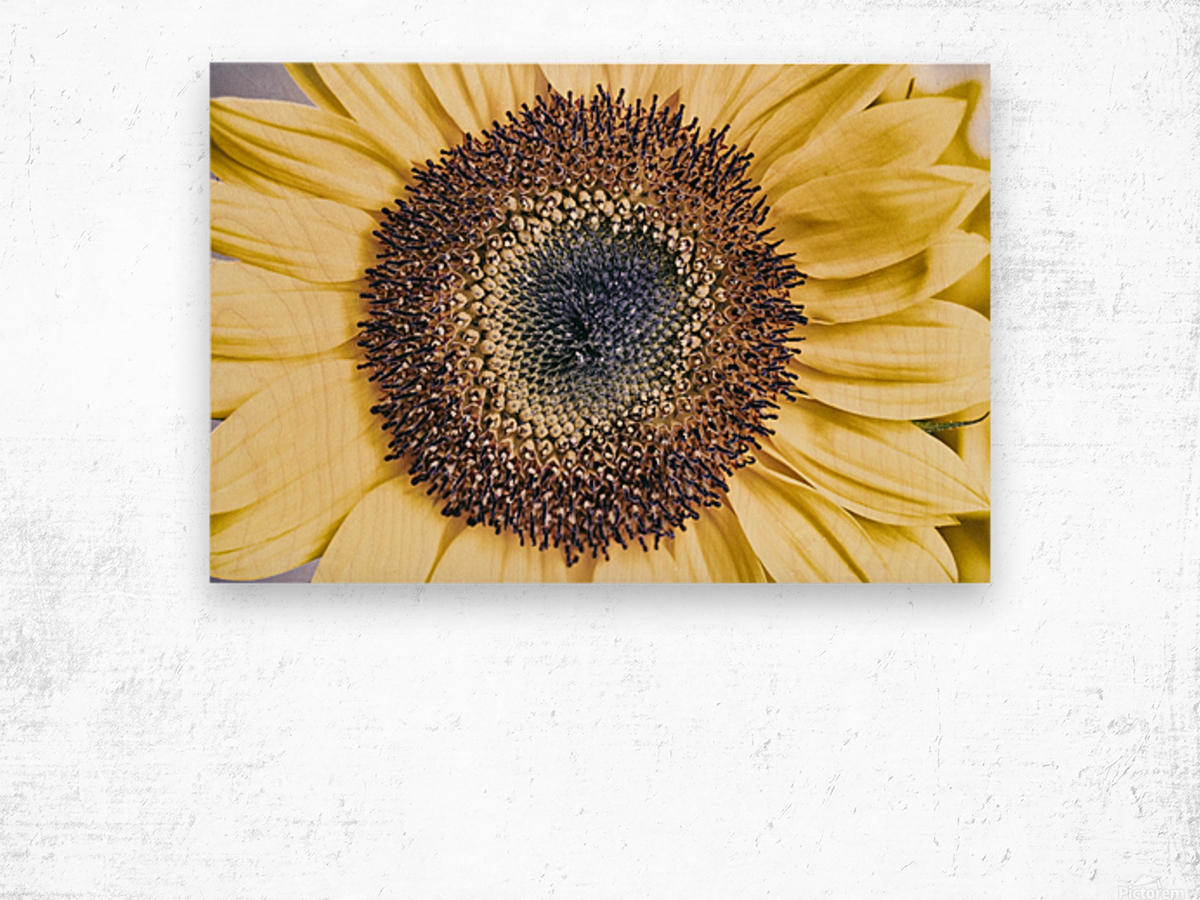 Sunflower Close Up Wood print