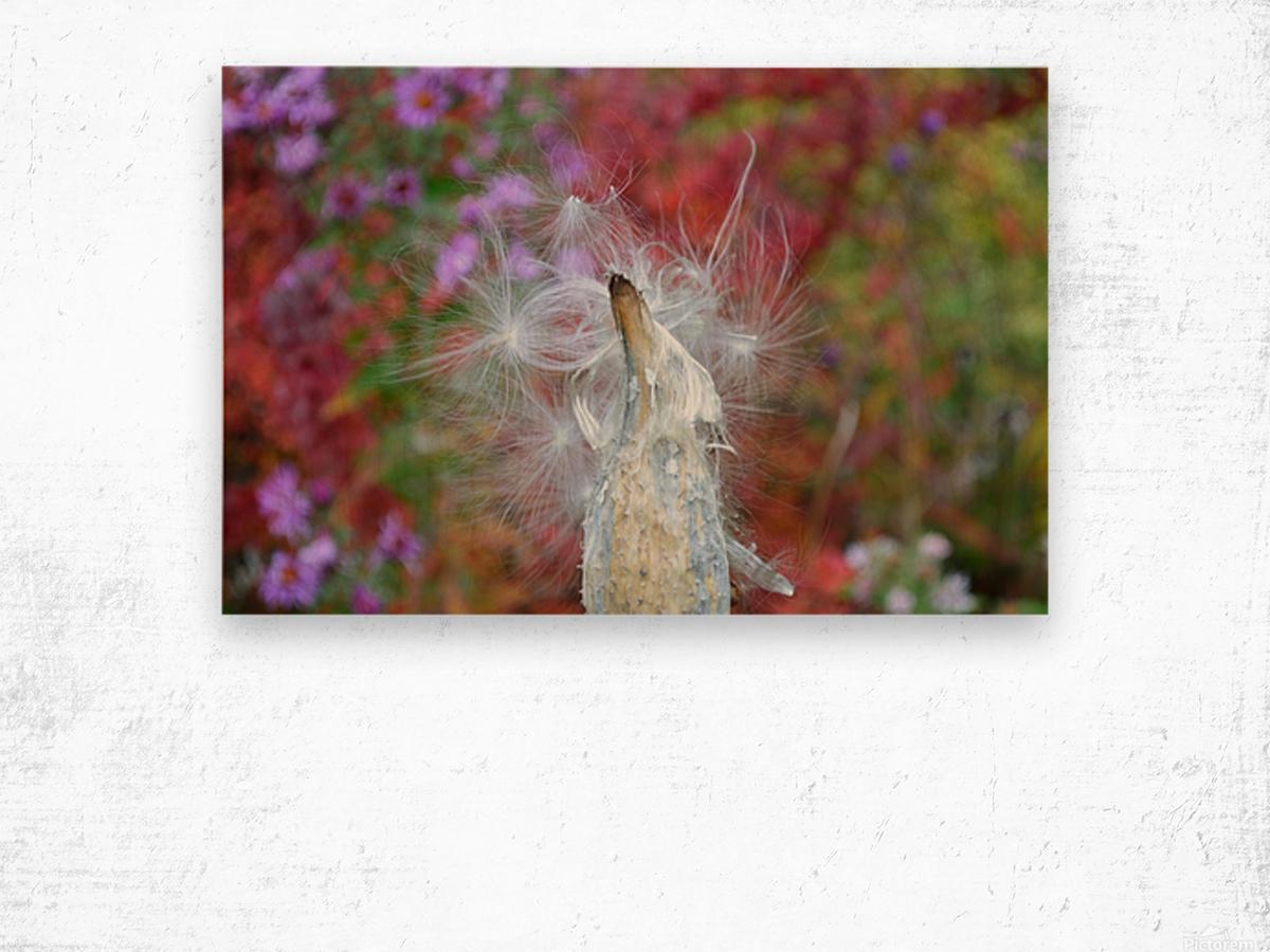 Milkweed Seeds Wood print