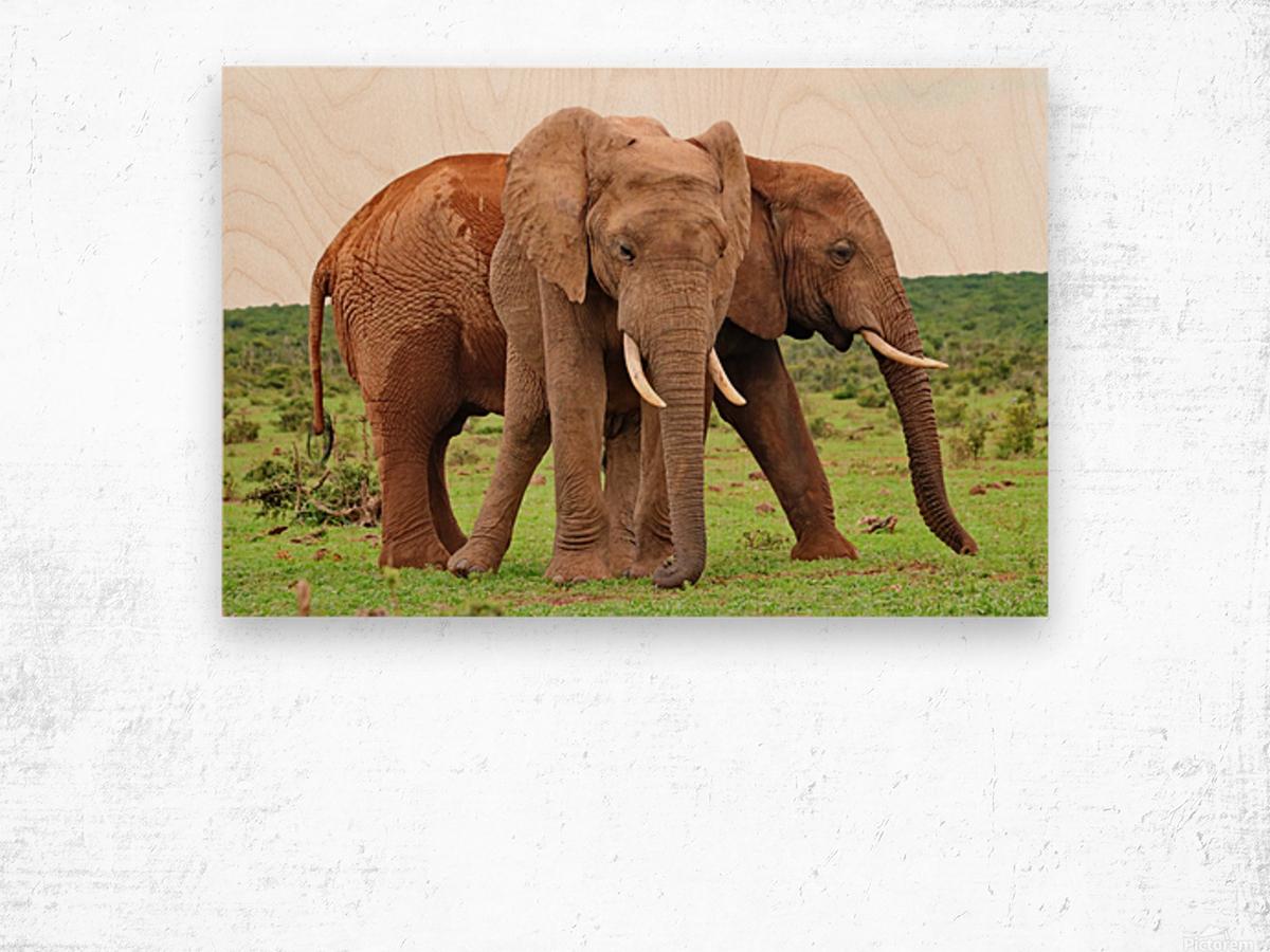 Addo Elephants 45 Wood print