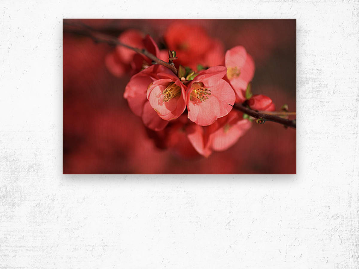 Flowering Quince Of Spring Wood print