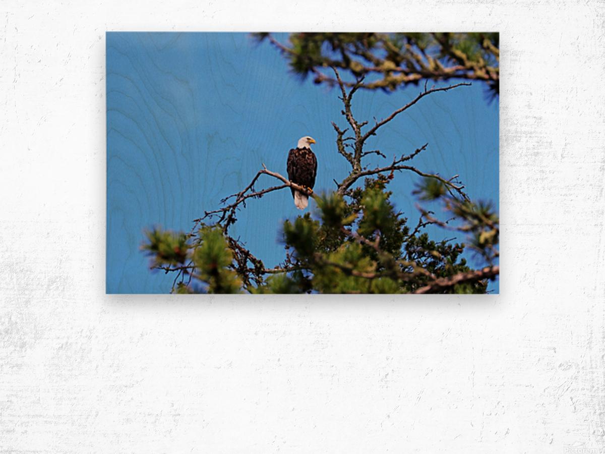 Bald Eagle Looking Regal Impression sur bois