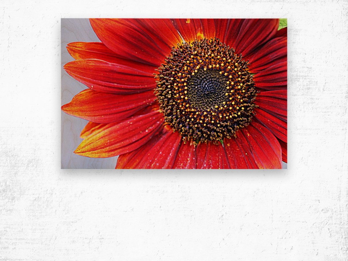 Ruby Red Sunflower Wood print