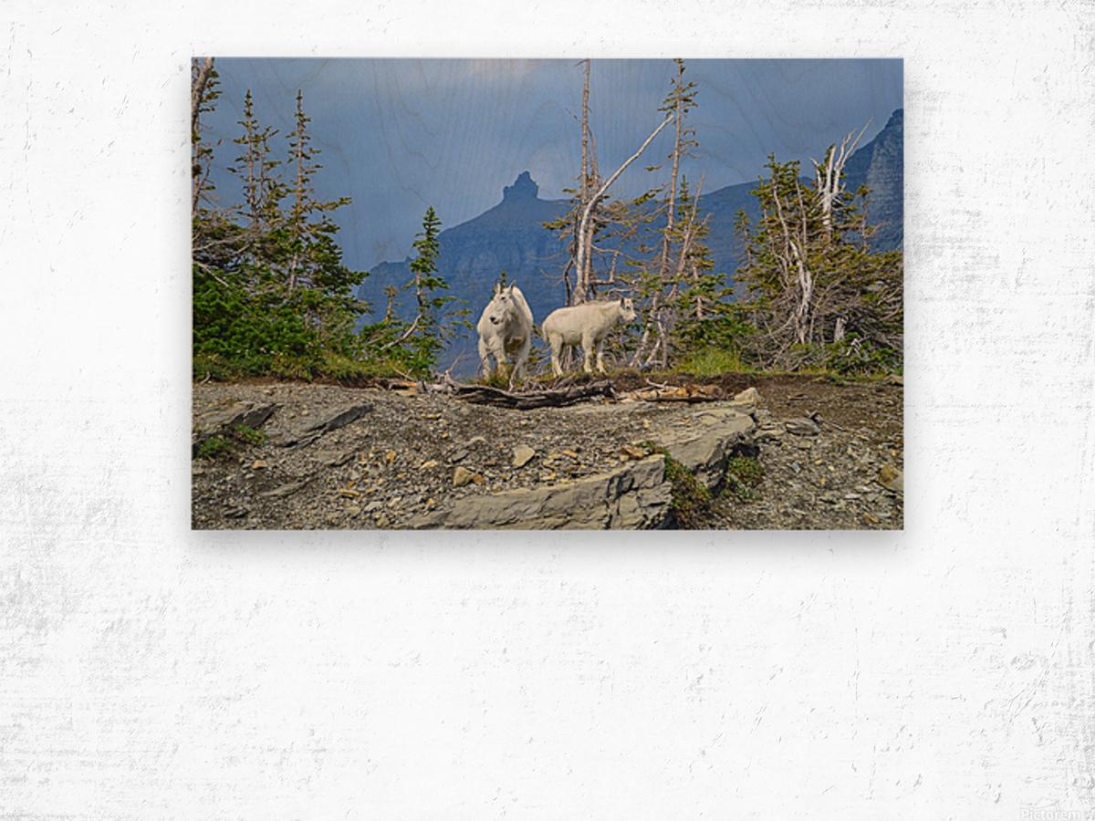Mountain Goats at Logan Pass Wood print