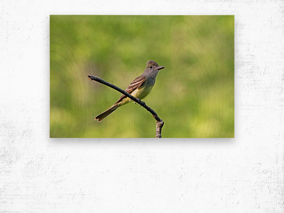 Great Crested Flycatcher With Snack Wood print