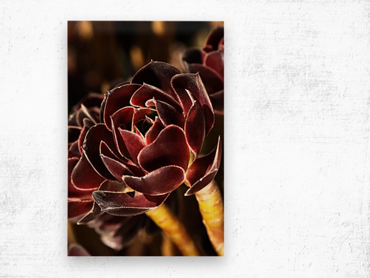 Purple Aeonium Succulent Wood print