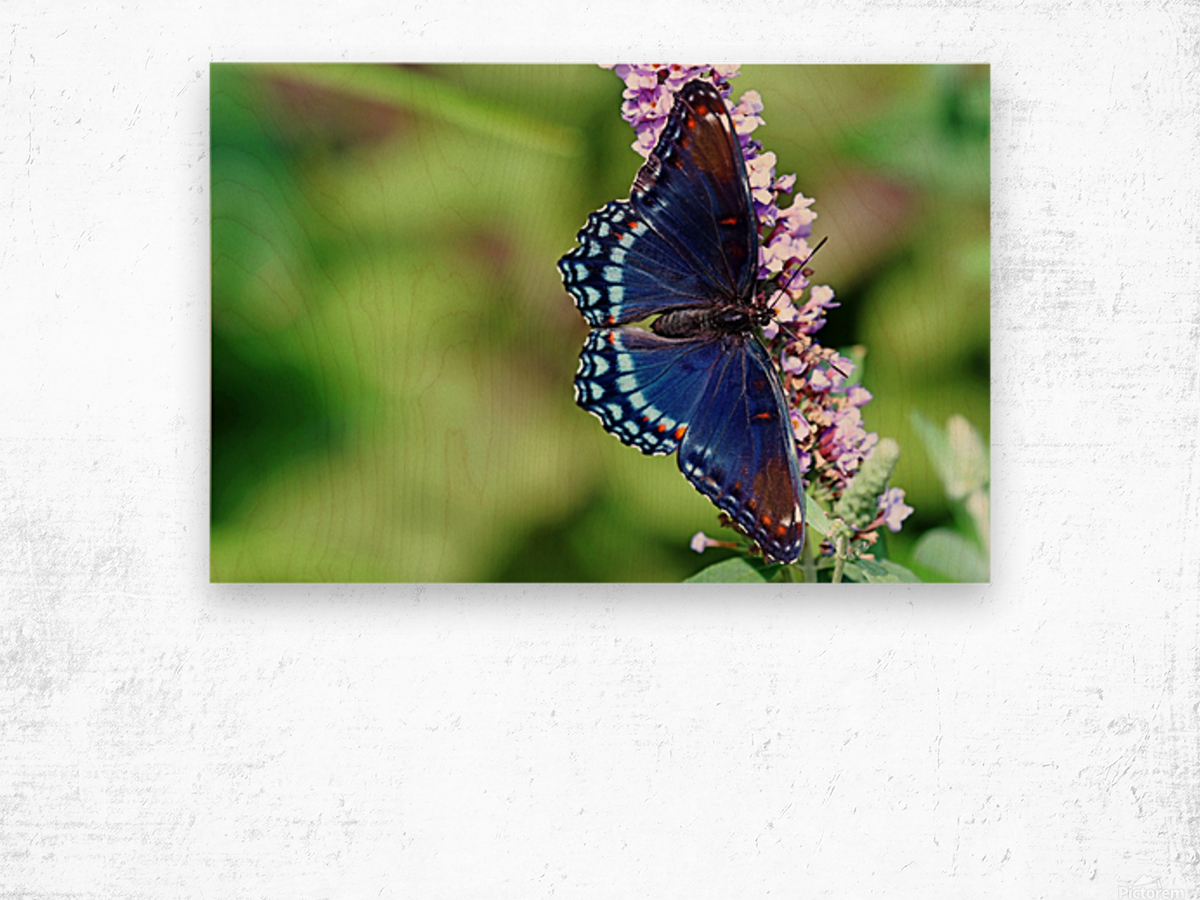 Red Spotted Purple Beauty Wood print