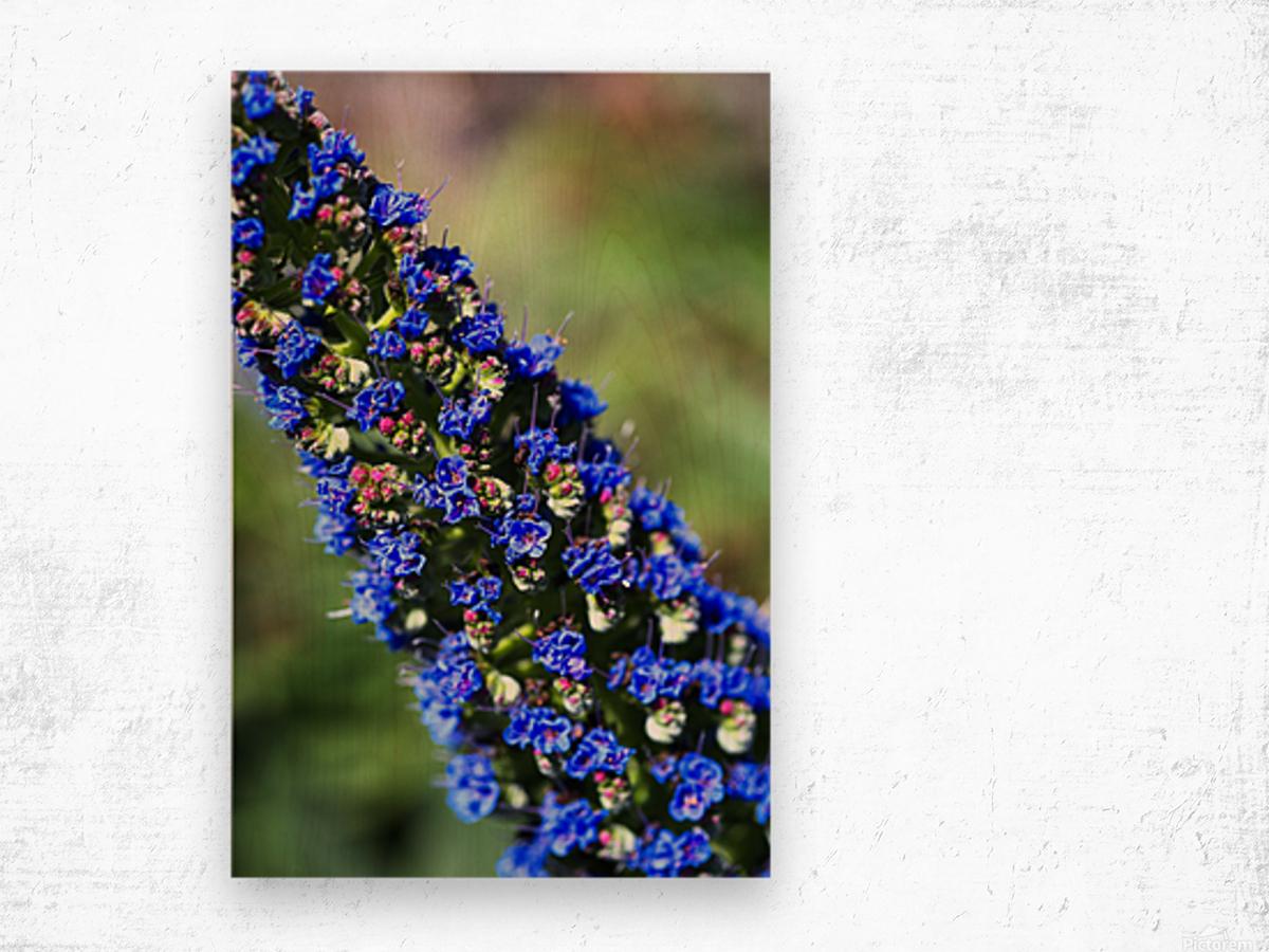 Veronica Flower Of  Spring Wood print