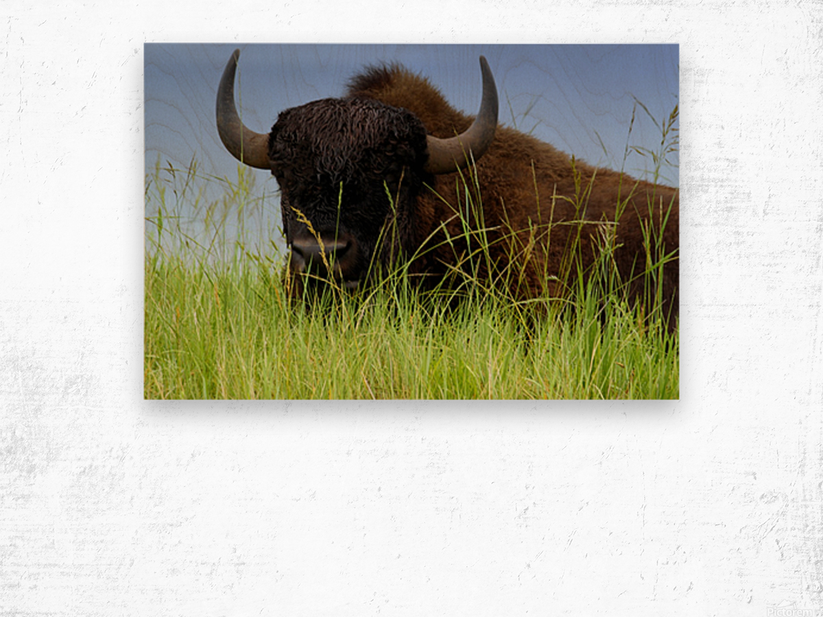 Female Bison Wood print