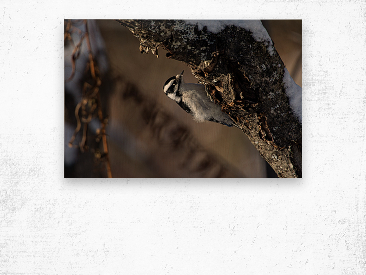 Downy on a Branch Wood print