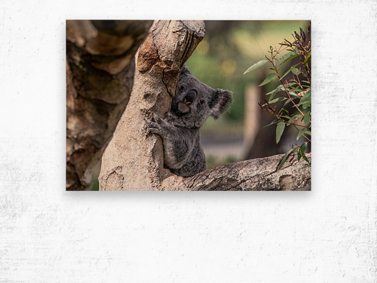 Australias Own Koala Bear Wood print