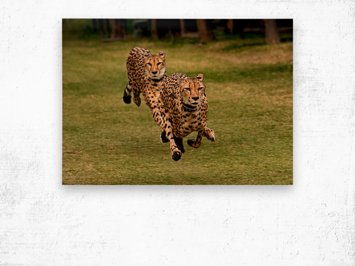 The Cheetah Brothers Wood print