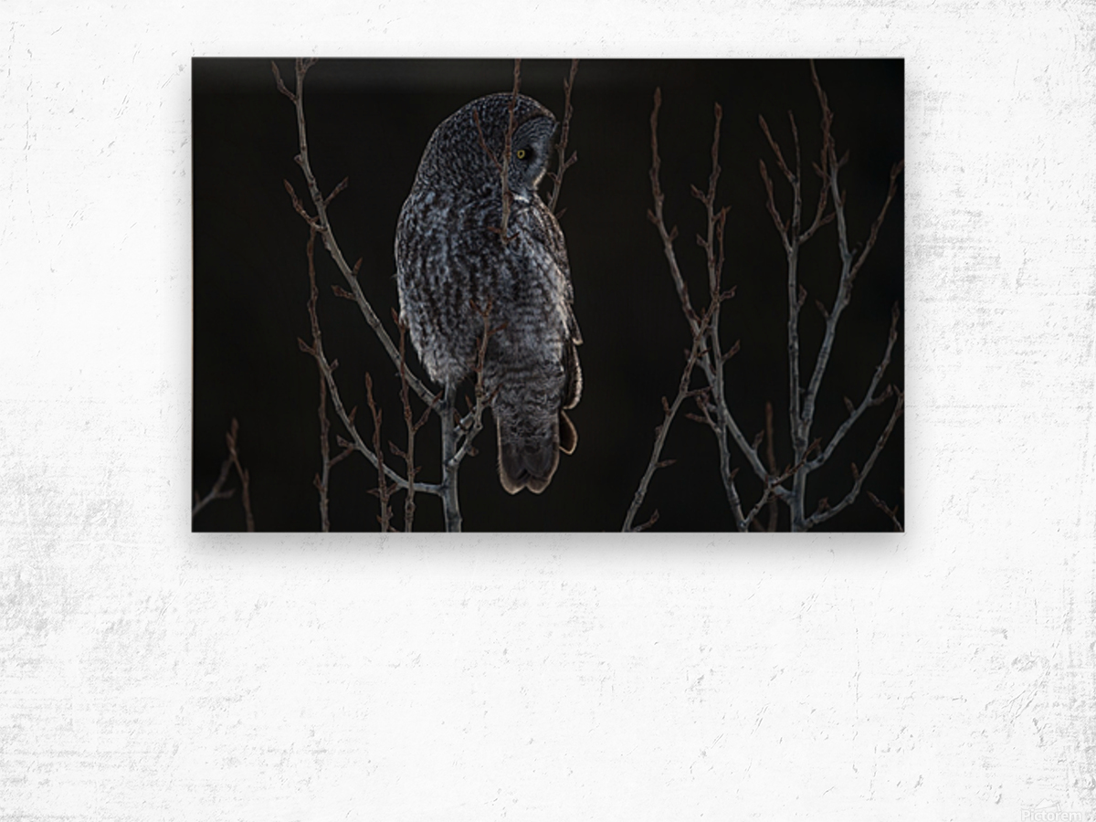 Great Grey Owl - After sunset Wood print