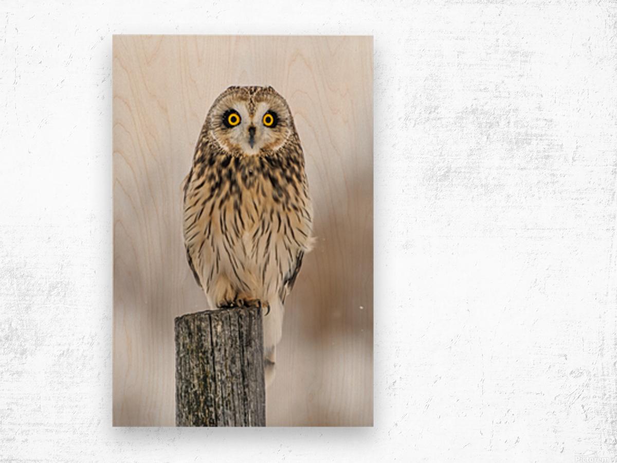 Short Eared Owl - Eyes wide open Wood print
