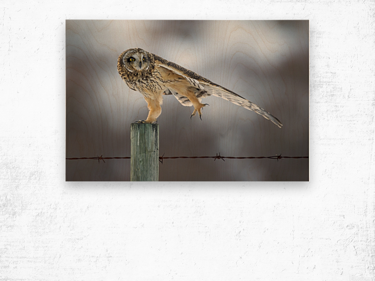 Short Eared Owl - Big Stretch Wood print