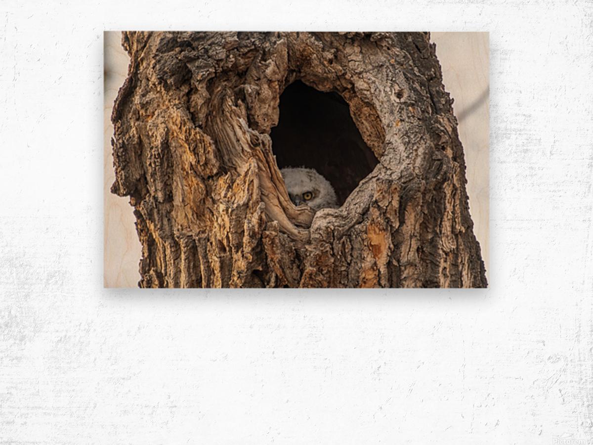 Great Horned Owl - Peek a boo Wood print