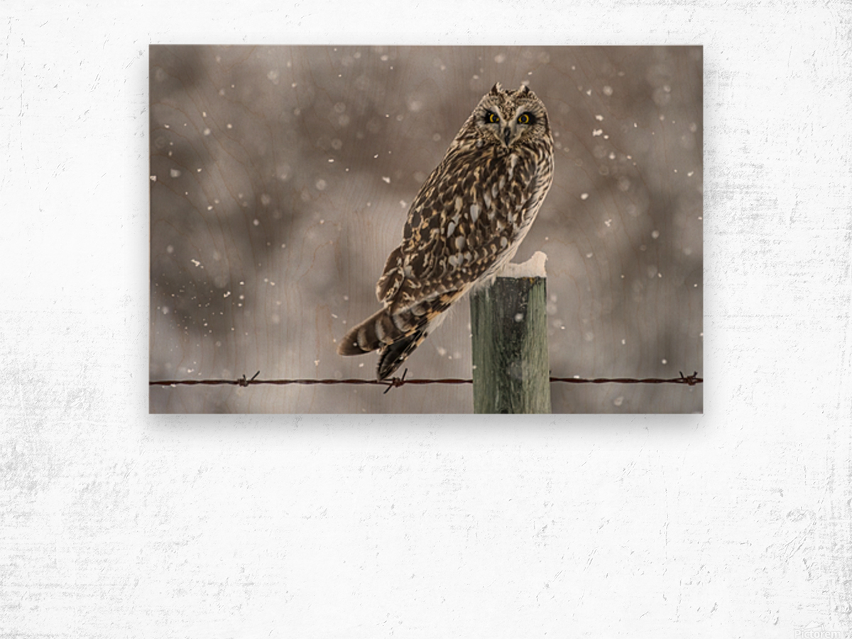 Short Eared Owl - Snow Storm Wood print