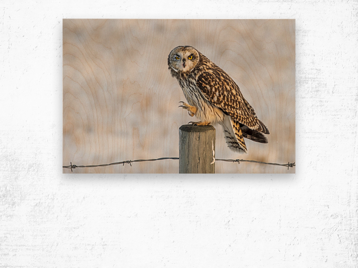Short Eared Owl - Just an Itch Wood print