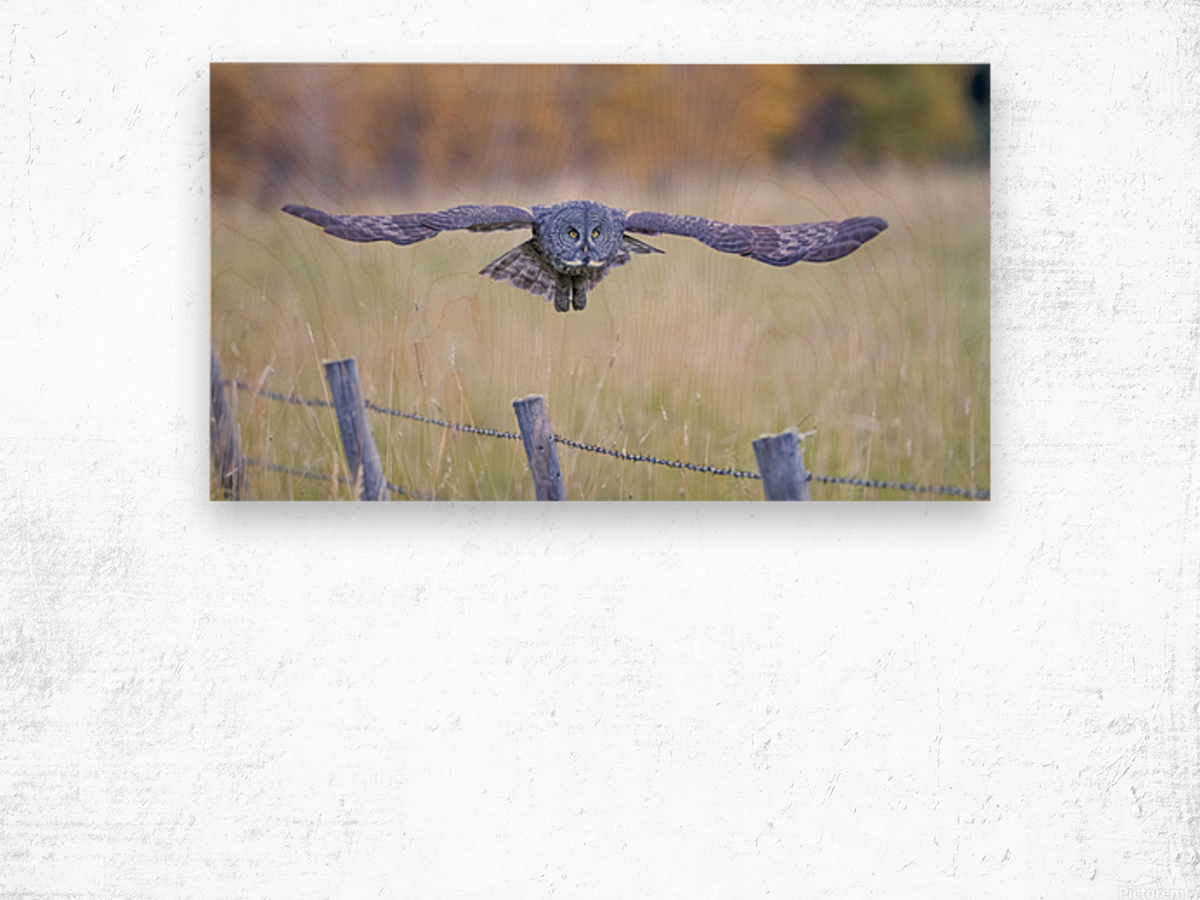 Great Grey Ow - Flat Out Wood print
