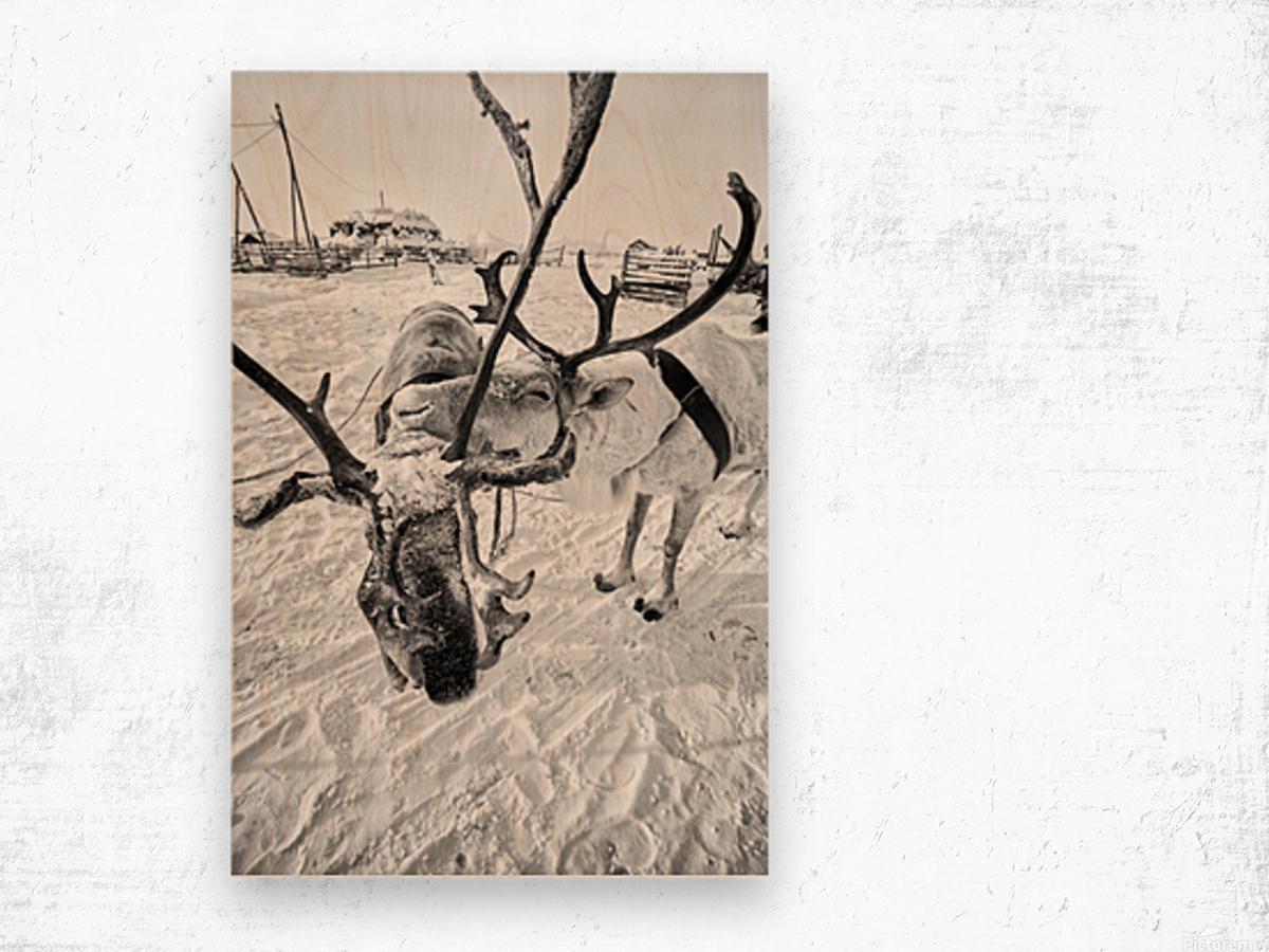 Evenki Reindeer Herding Wood print