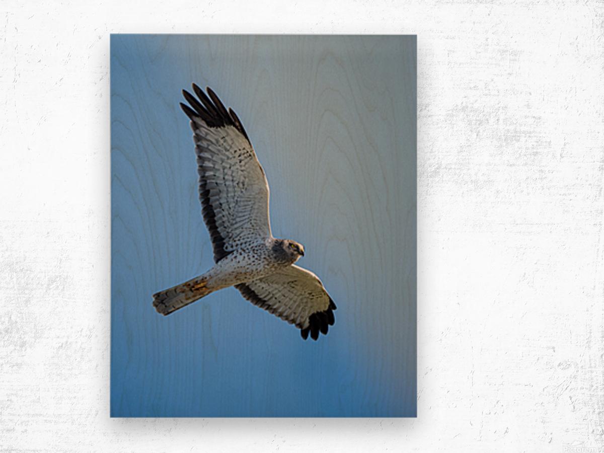 Northern Harrier in Flight Impression sur bois