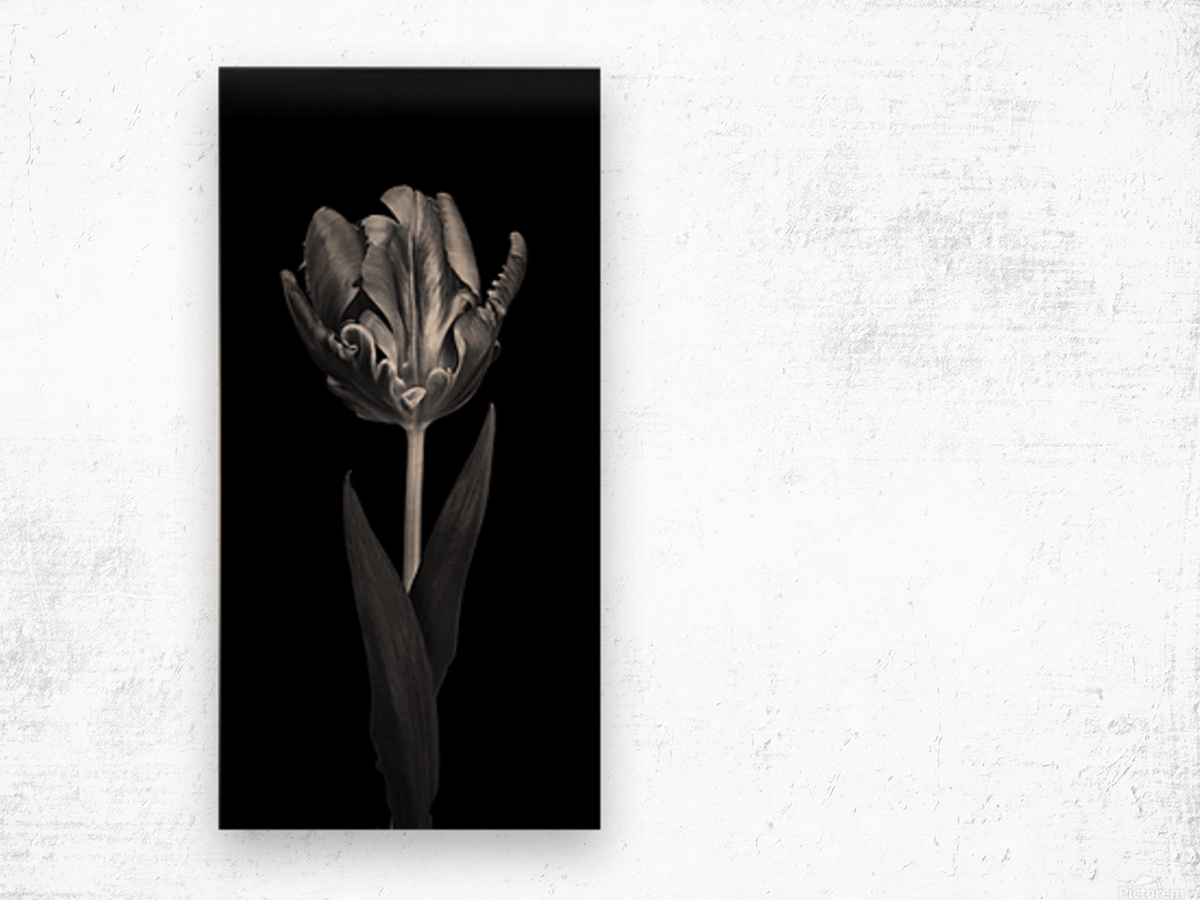 Rcoco tulip, side view Wood print