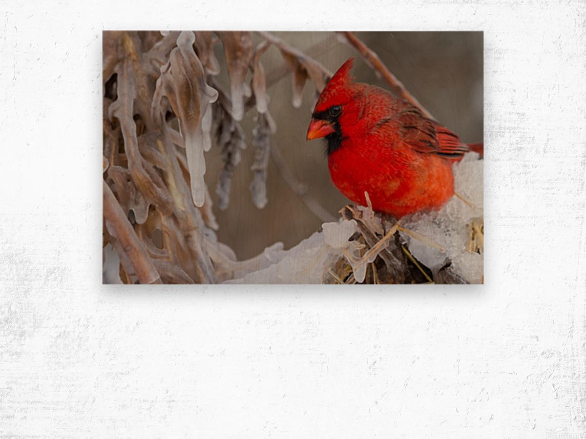 Cardinal ap 1869 Wood print