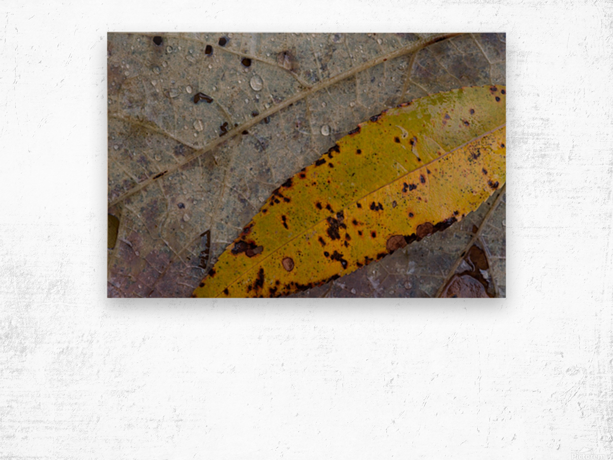 Choke Cherry Leaf ap 1952 Wood print