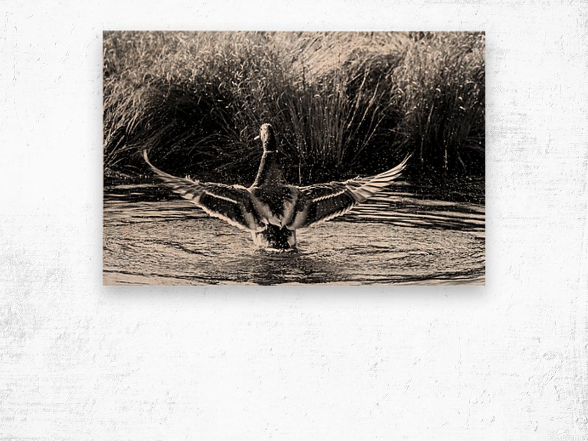 Mallard ap 1826 B&W Wood print