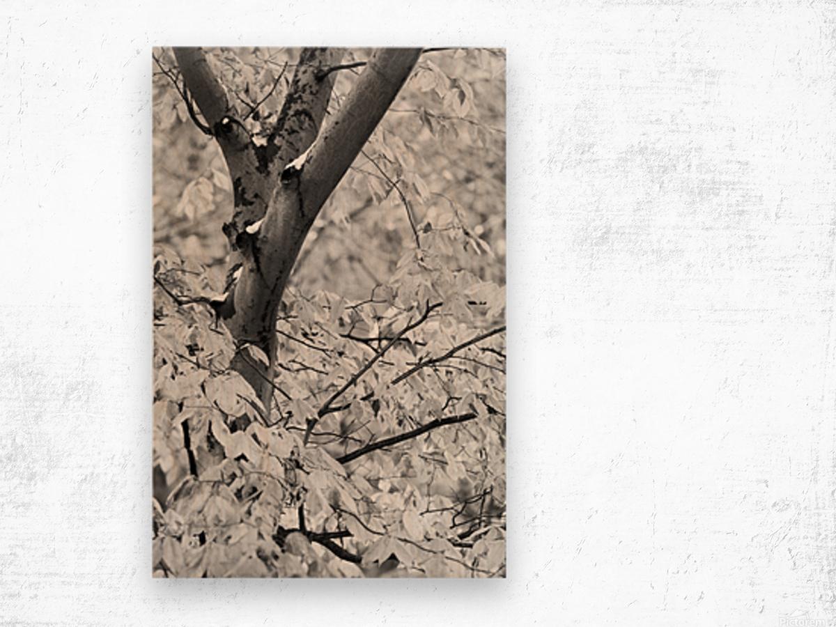 Beech Tree ap 1586 B&W Wood print