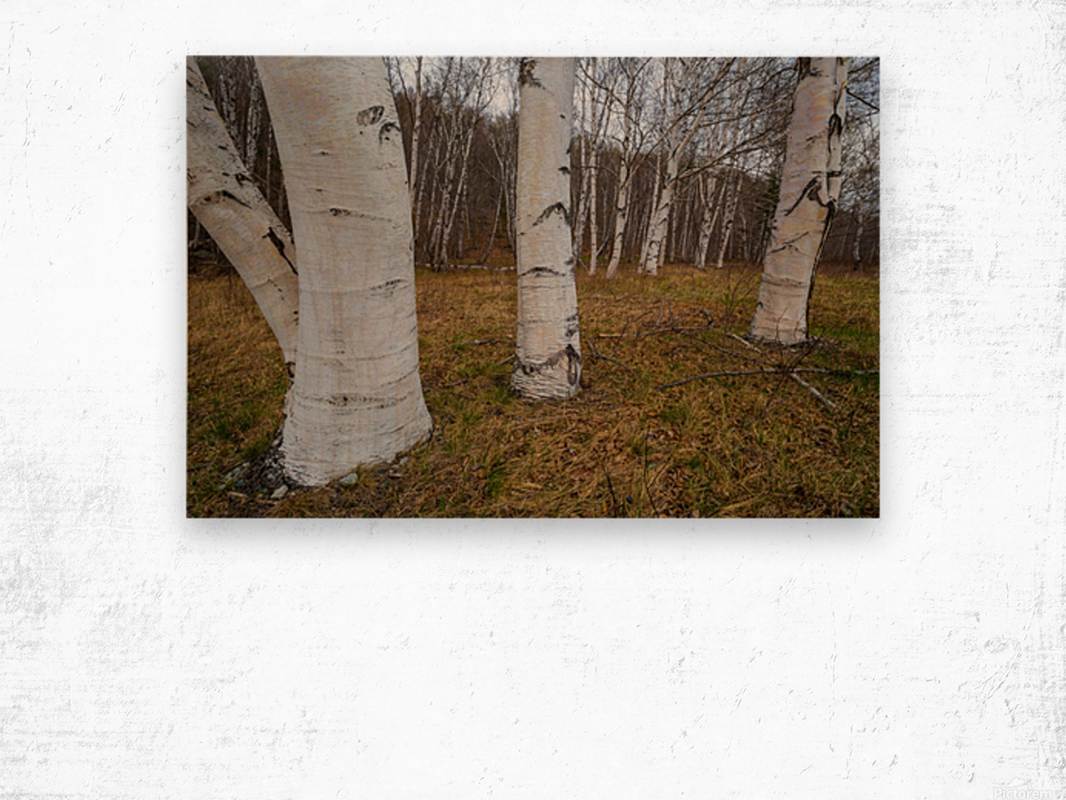 White Birch ap 2242 Wood print