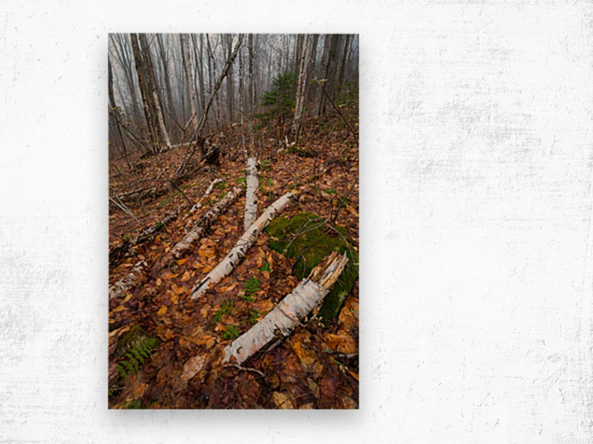 White Birch ap 2186 Wood print