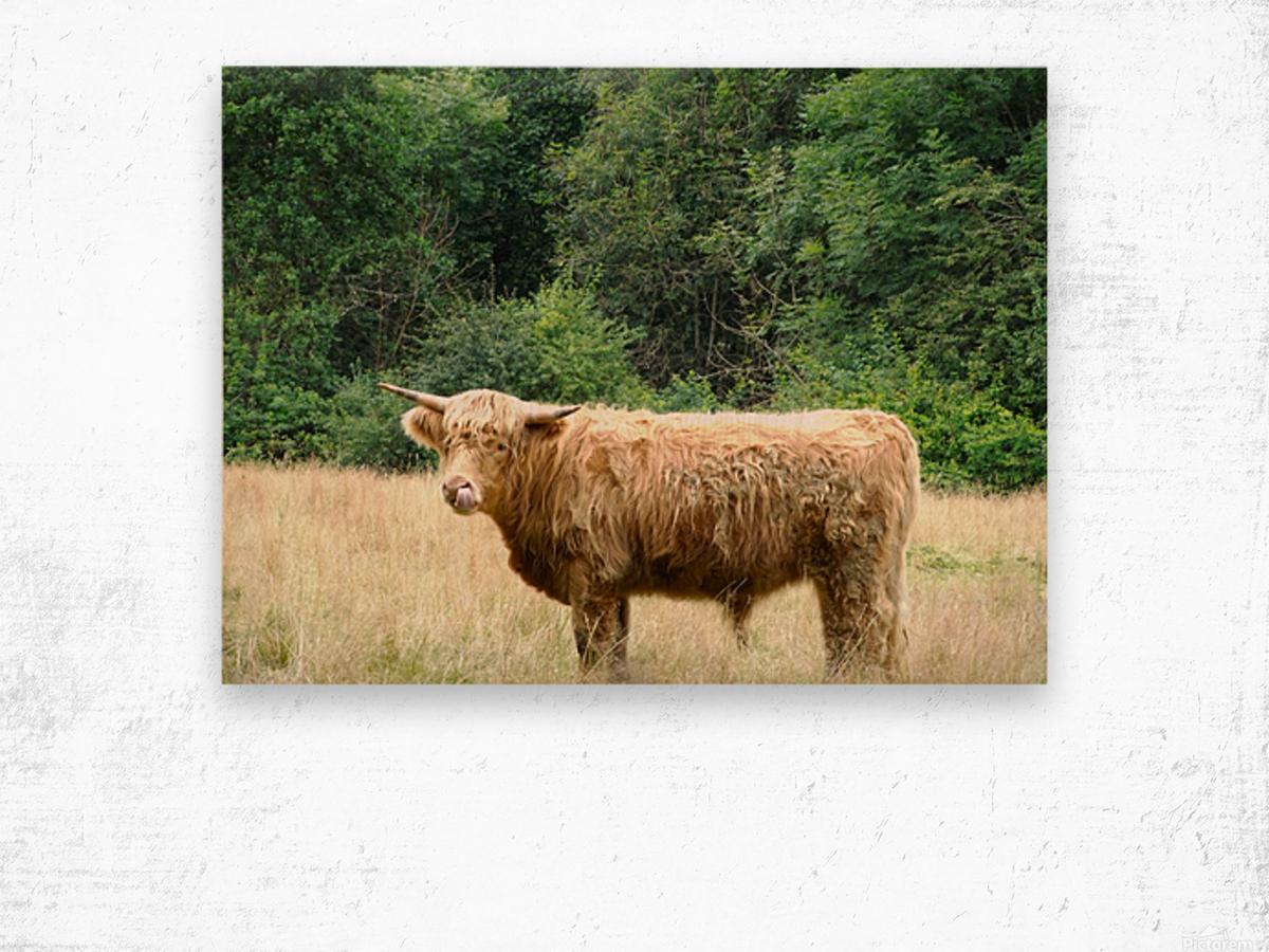 Hairy Coo - Scottish Highlands Wood print