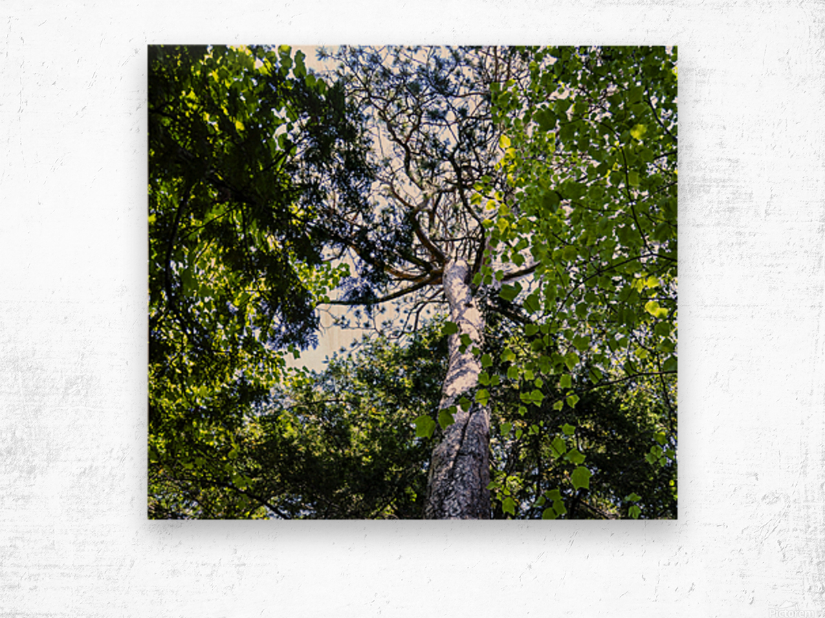 Skyview Canopy Wood print