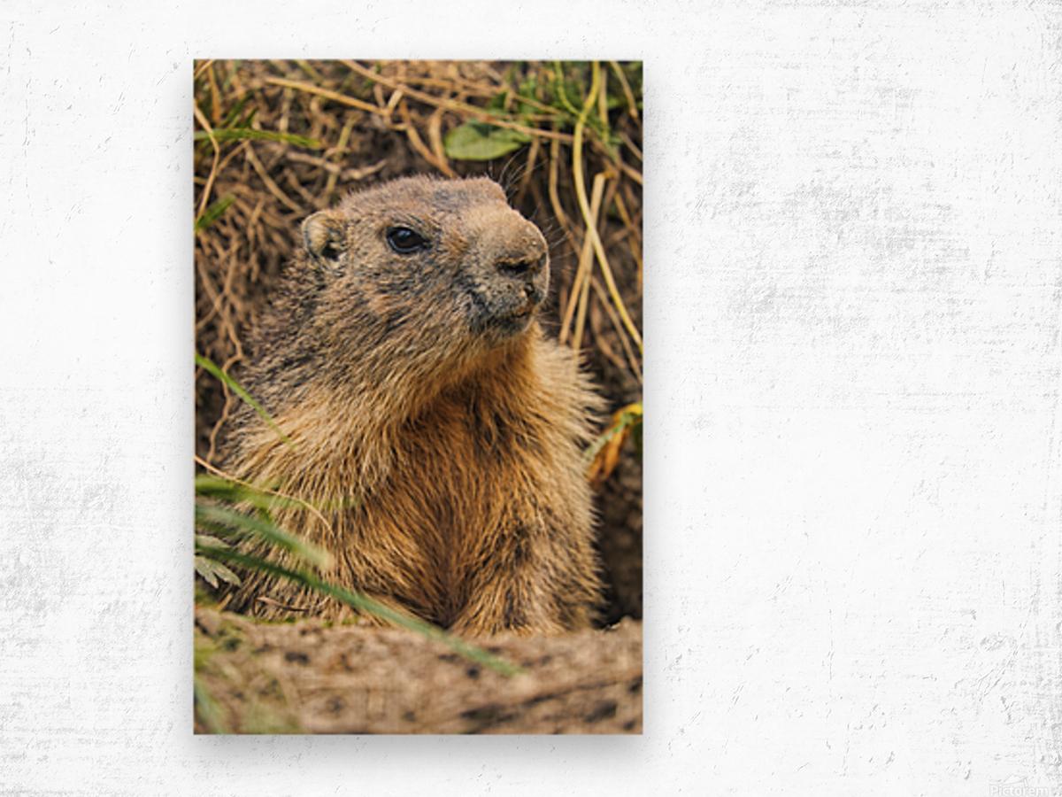 Alpine Marmot Wood print