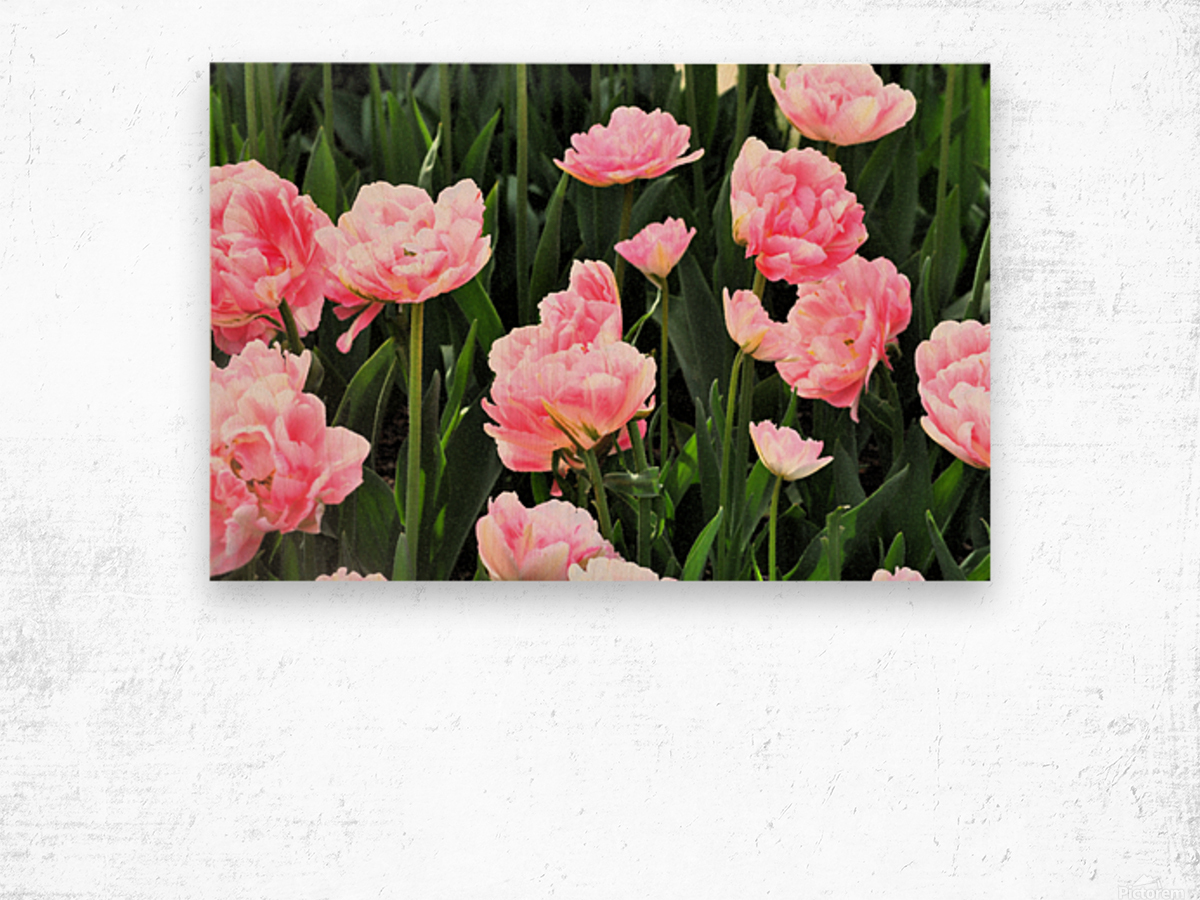 Double Pink Tulips Wood print