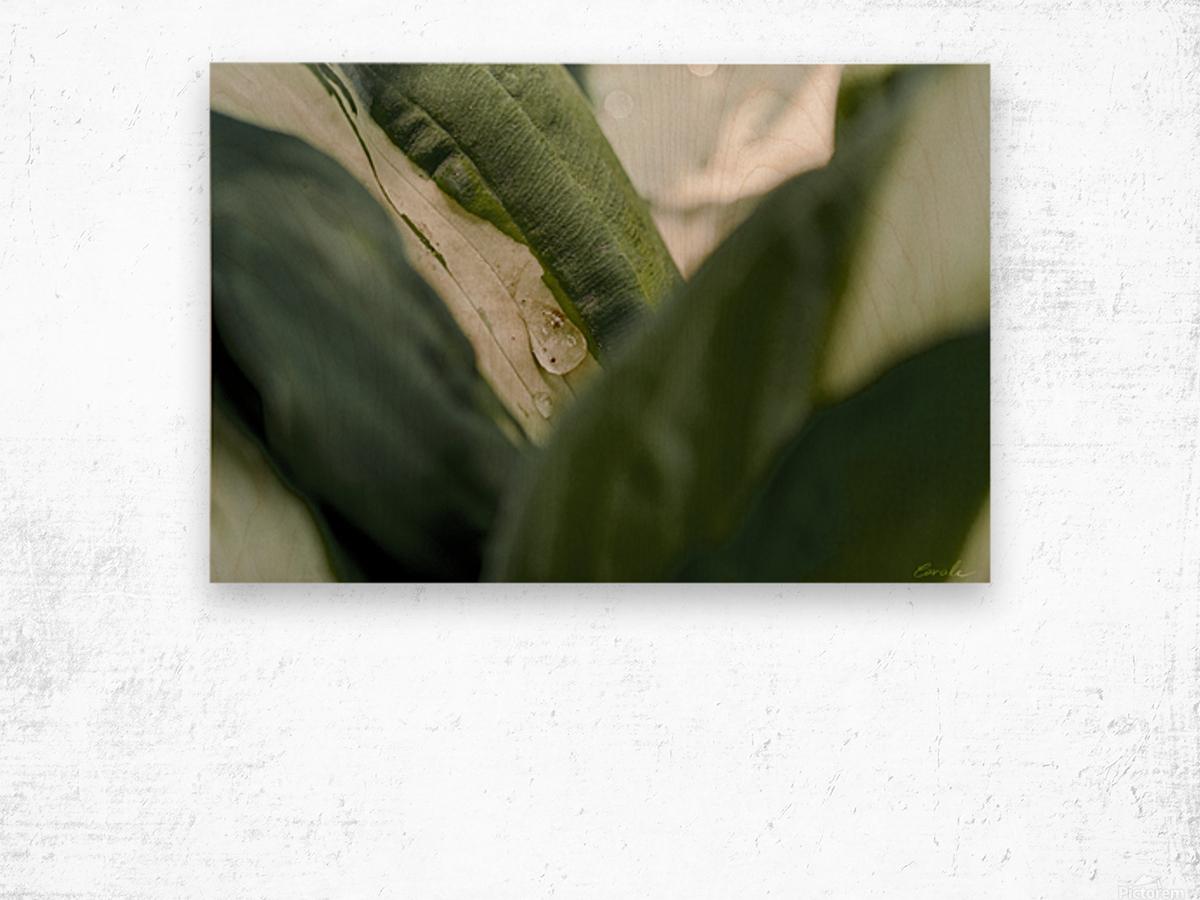 Une larme de hosta  Wood print