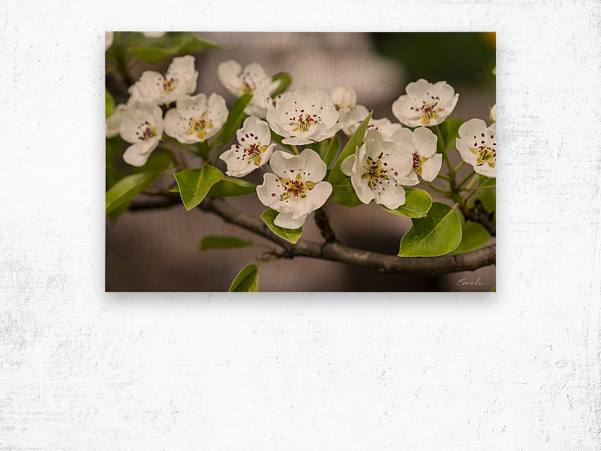 Poirier en fleurs 2 Wood print