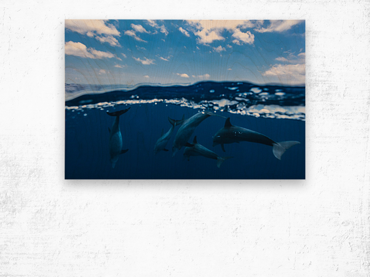 Between air and water with the dolphins Wood print